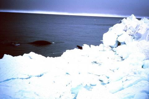Surfacing bowhead whale in 1985